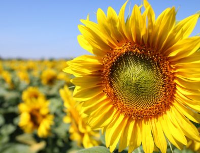 Sunflowers 2 home page banner